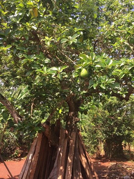 裏庭にはアボカドの木